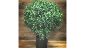 Image of a Artificial Boxwood Plant