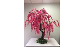 Image of a 12'ft Pink Wisteria Tree