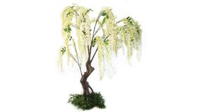 Image of a 5' White Wisteria Trees