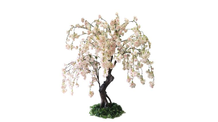 Picture of a 5'ft Blush Cherry Blossom Tree