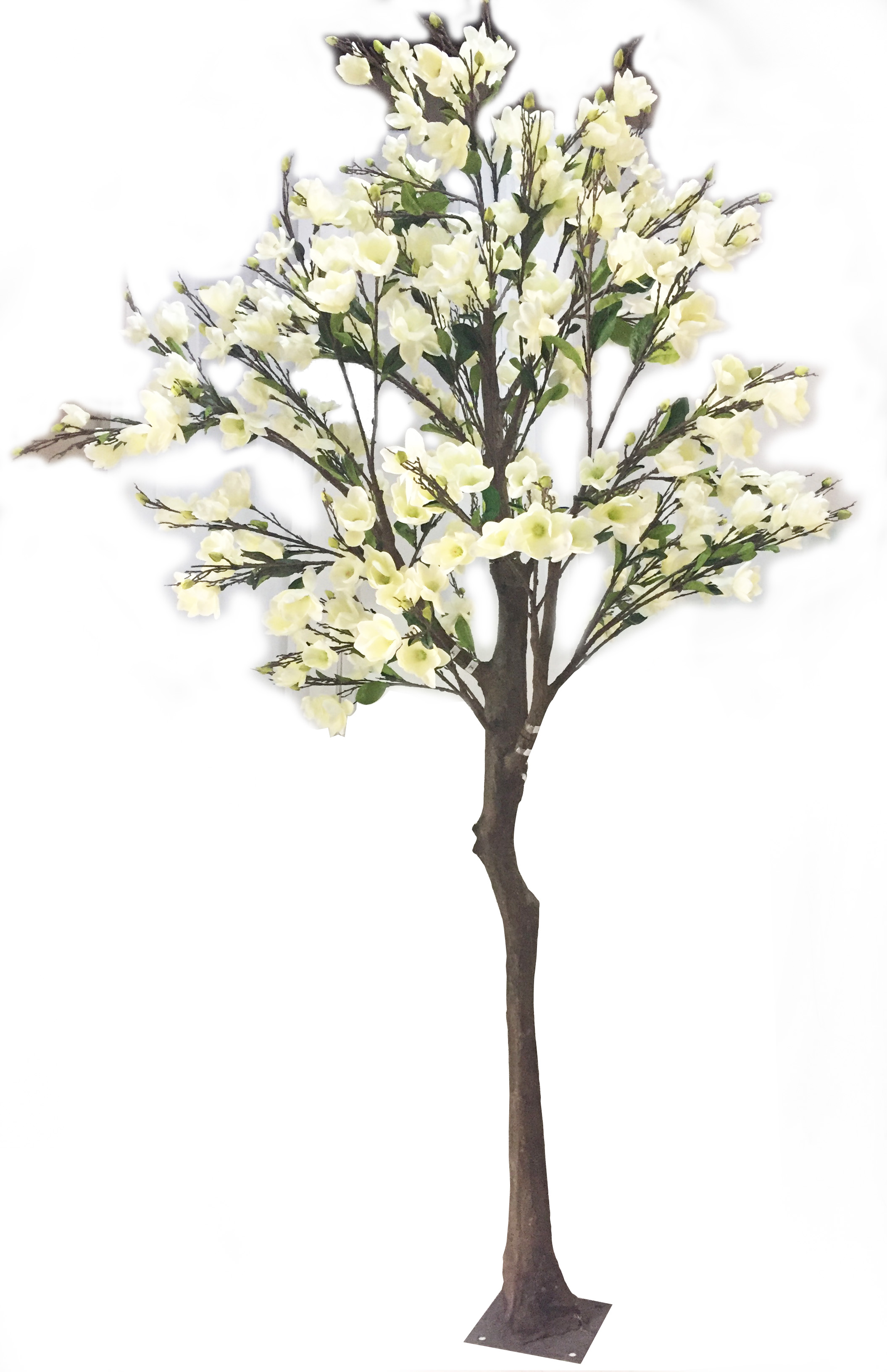 13 White Magnolia Trees Rentals Online 250day