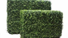 Image of a 3'ft Boxwood Hedge