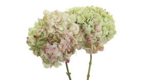 Image of a Antique Green Hydrangea