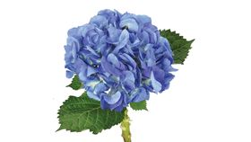 Image of a Dark Blue Hydrangea