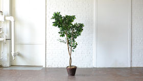 Image of a Faux Ficus Tree
