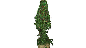 Image of a Foliage: Topiary, Ivy Cone - 5' Case of 2