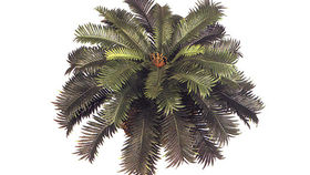 Image of a Foliage: Palm, Sago (Low at 12x24in)