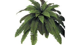 Image of a Foliage: Fern, Boston Fern (Lg Branch)