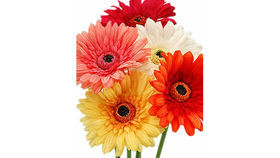 Image of a Floral: Gerbera Daisy, Large