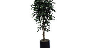 Image of a Foliage: Tree, Ficus - 6ft