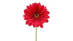 Image of a Floral: Gerbera Daisies, Standard Size, Silk