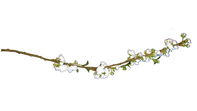 Picture of a Floral: Cherry Blossoms, White Stems 24-36""