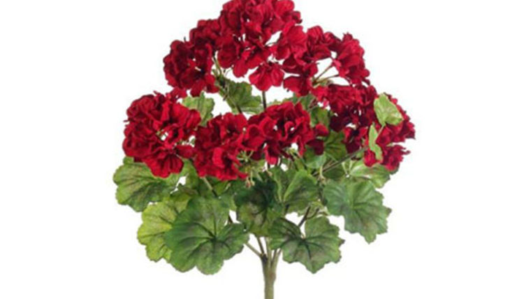 Picture of a Floral: Geraniums, Tub of 12