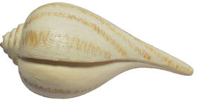 Image of a Pear Whelk Shell