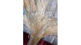 Image of a Dark Orange, Pink and Brown Pampas Grass