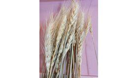 Image of a Stems Natural Dried Wheat Sheaves