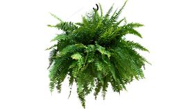 Image of a 10'' Boston Fern (Real)