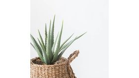 """17"""" Potted Aloe image"""