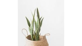 "23"" Potted Snake Plant image"