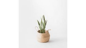 "Image of a 23"" Potted Snake Plant"