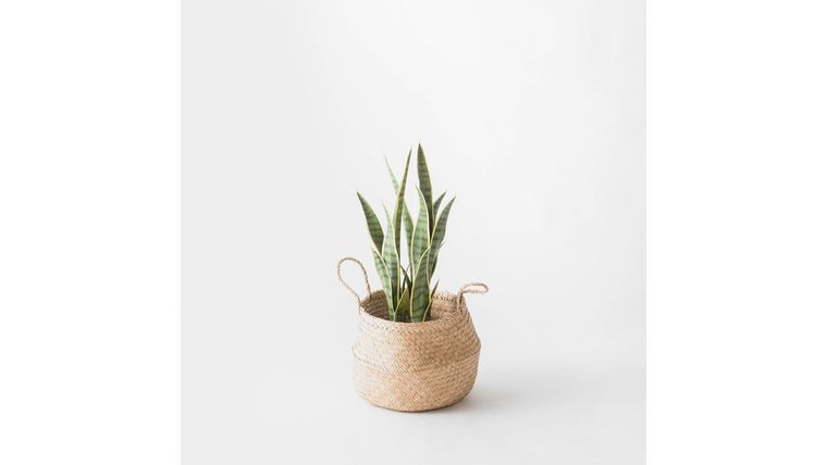 "Picture of a 23"" Potted Snake Plant"