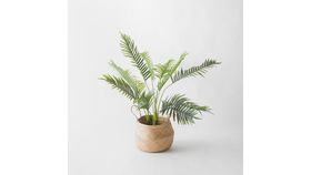Image of a 4' Areca Palm Plant