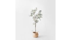 Image of a 5' Olive Tree