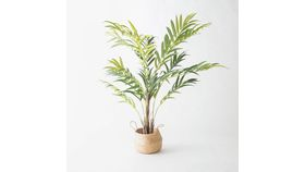 Image of a 6' Kentia Palm Plant