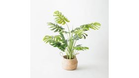 Image of a 4' Monstera Plant