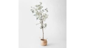 Image of a 8' Olive Tree