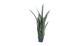 Image of a 4' Snake Plant