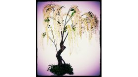 Image of a 5' Blush Wisteria Trees