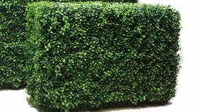 Image of a 3'ft Box Wood Hedging