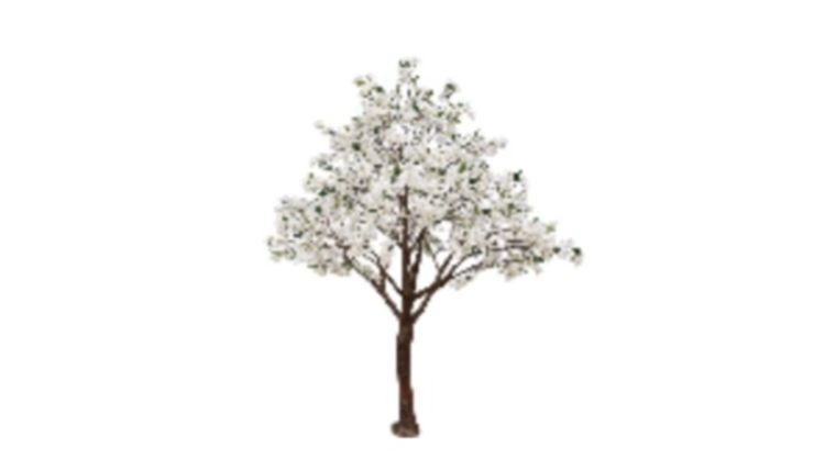 Picture of a 13'ft White Pear Blossom Tree