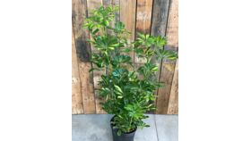 """Image of a Arborica Variegated Plant - 8"""""""
