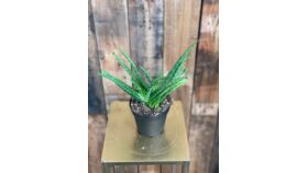 "Image of a Aloe Vera Plant - 4"""