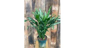 "Image of a Agelaonema Hybrid Plant - 6"""