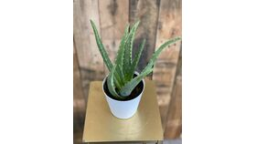 """Image of a Aloe Plant in White Pot - 4"""""""