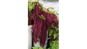 Image of a Amaranthus Red