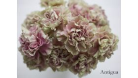 Image of a Carnations Antigua