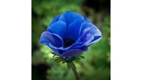 Image of a Anemone Blue