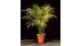 Image of a 8' Areca Palm