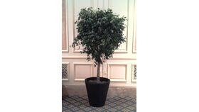 Image of a 6' Ficus Tree