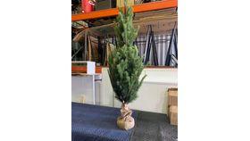 "Image of a Calgary Pine Tree w/burlap 60"""