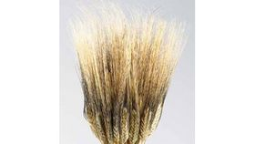 "Image of a Blackbeard Wheat 30"""