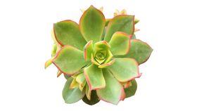 Image of a Succulent - Aeonium Haworthii Cluster