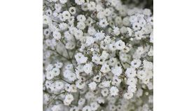 Image of a Baby's breath