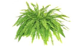 Image of a Fern