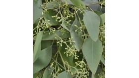 Image of a Bulk eucalyptus