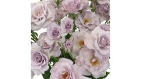 Image of a ANTIQUE LAVENDER SPRAY ROSES BULK